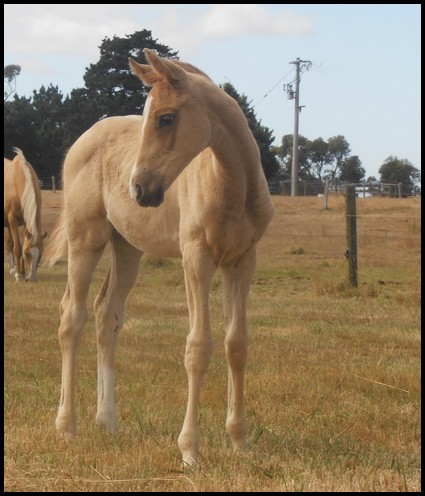 For Sale Monsview Park Palomino And Warmblood Stud